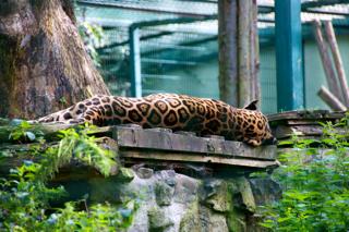 Bild: Jaguar beim späten Mittagsnickerchen um 17:00 Uhr