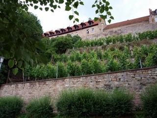 Bild: Weinanbau am Schloss Beyernaumburg.