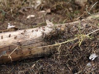 Bild: Waldameisen an einem verrottendem Kiefernstamm.