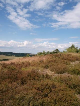 Bild: Heidekraut auf der Rabenskuppe bei Mansfeld.