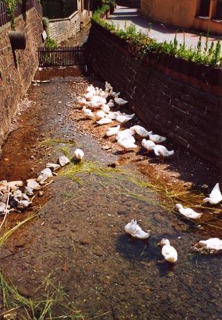 Bild: Enten in der Nasse in Questenberg.