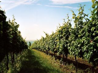 Bild: Blick auf die Weinberge am Süßen See.