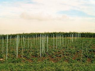Bild: Blick auf die Weinberge. Im Hintergrund das Montanwachswerk Wansleben am See.