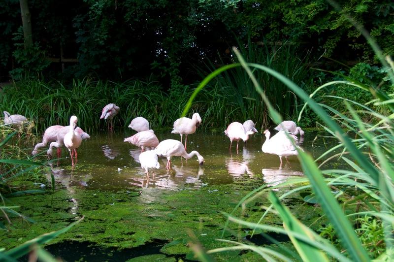 Bild: Zwergflamingos im Zoo von Aschersleben.