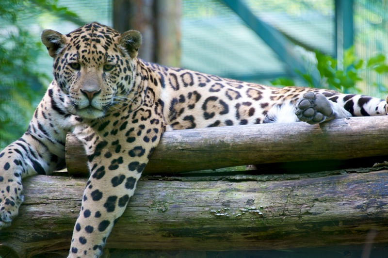 Bild: Jaguar im Zoo von Aschersleben.