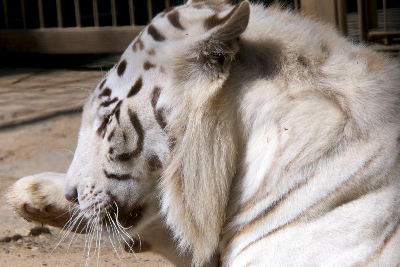 Bild: Weißer Tiger im Zoo von Aschersleben.