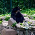 Bild: Brillenbär im Zoo von Aschersleben.