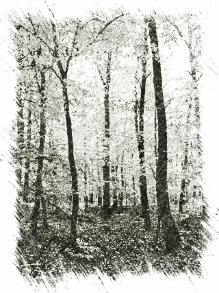 Bild: Herbstlicher Buchenwald - Im Harz ist das ein vergleichsweise neuer Anblick. Früher war der Harz insbesondere von schnellwachsenden Fichtenbeständen bedeckt.