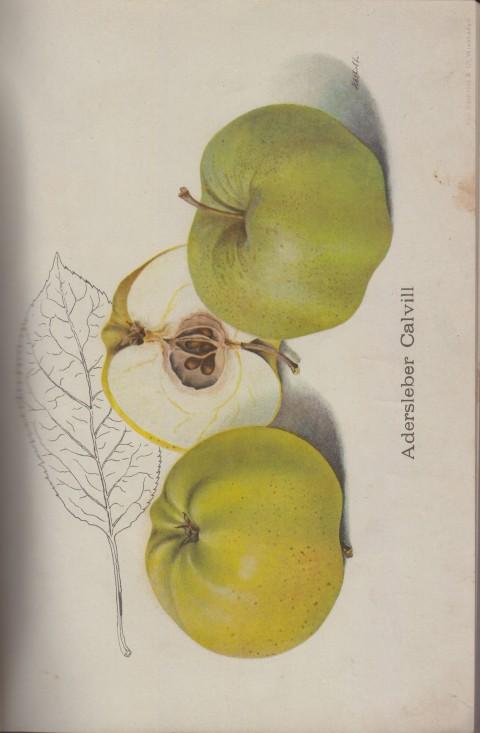 Bild: Bildtafel zum Adersleber Calvill im Buch Unsere besten Deutschen Obstsorten Band I: Äpfel von 1923.