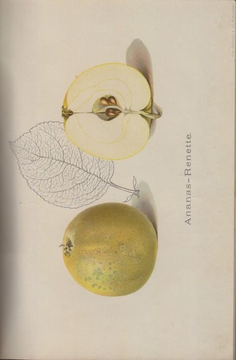 Bild: Bildtafel zur Ananas-Renette im Buch Unsere besten Deutschen Obstsorten Band I: Äpfel von 1923.