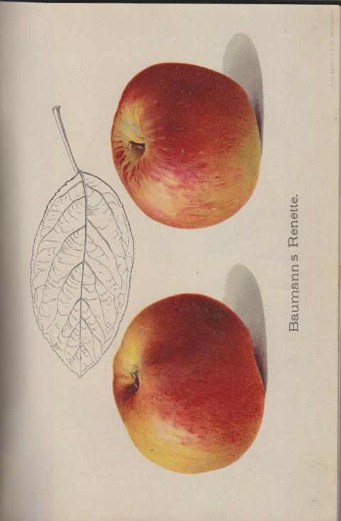 Bild: Bildtafel zur Baumanns Renette im Buch Unsere besten Deutschen Obstsorten Band I: Äpfel von 1923.
