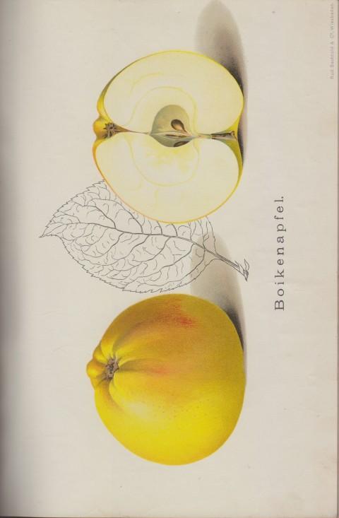 Bild: Bildtafel zum Boikenapfel im Buch Unsere besten Deutschen Obstsorten Band I: Äpfel von 1923.