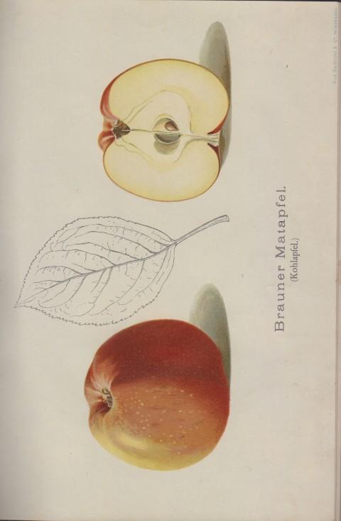 Bild: Bildtafel zum Brauner Matapfel im Buch Unsere besten Deutschen Obstsorten Band I: Äpfel von 1923.