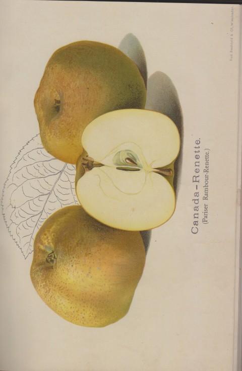Bild: Bildtafel zur Canada-Renette im Buch Unsere besten Deutschen Obstsorten Band I: Äpfel von 1923.