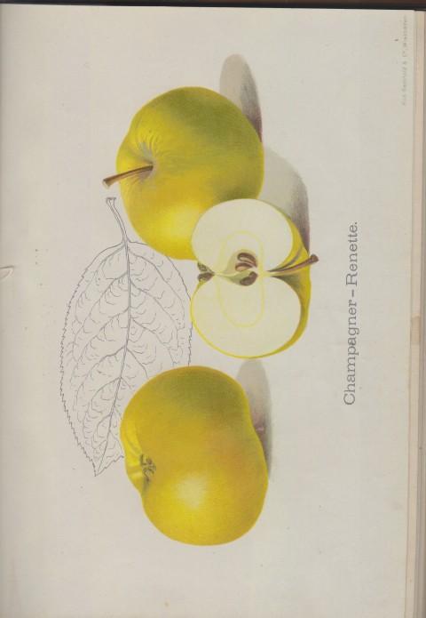 Bild: Bildtafel zur Champagner-Renette im Buch Unsere besten Deutschen Obstsorten Band I: Äpfel von 1923.