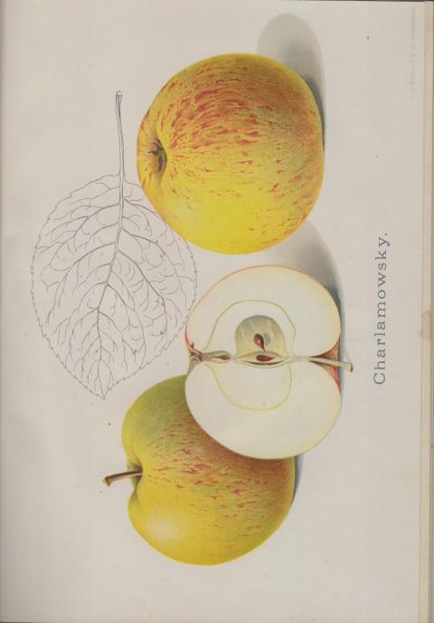 Bild: Bildtafel zum Charlamowsky im Buch Unsere besten Deutschen Obstsorten Band I: Äpfel von 1923.