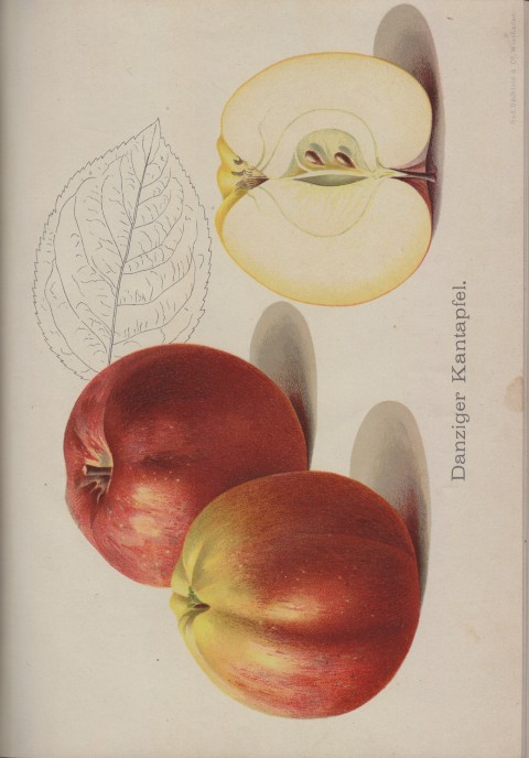 Bild: Bildtafel zum Danziger Kantapfel im Buch Unsere besten Deutschen Obstsorten Band I: Äpfel von 1923.