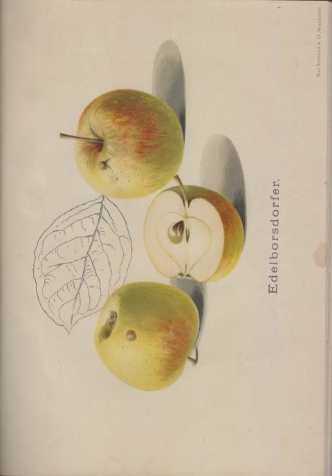 Bild: Bildtafel zum Edelborsdorfer im Buch Unsere besten Deutschen Obstsorten Band I: Äpfel von 1923.