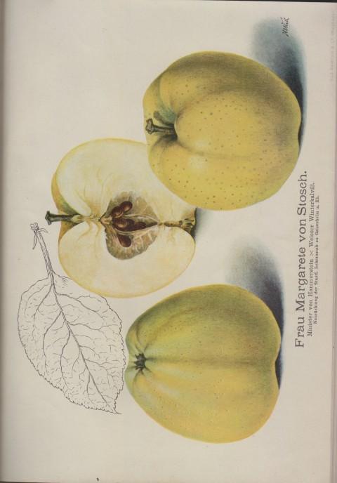 Bild: Bildtafel zum Frau Margarete von Stosch im Buch Unsere besten Deutschen Obstsorten Band I: Äpfel von 1923.
