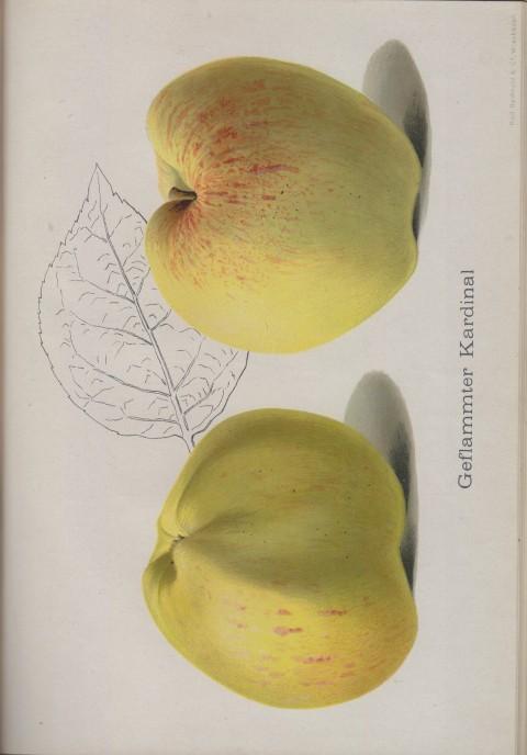 Bild: Bildtafel zum Geflammter Kardinal im Buch Unsere besten Deutschen Obstsorten Band I: Äpfel von 1923.