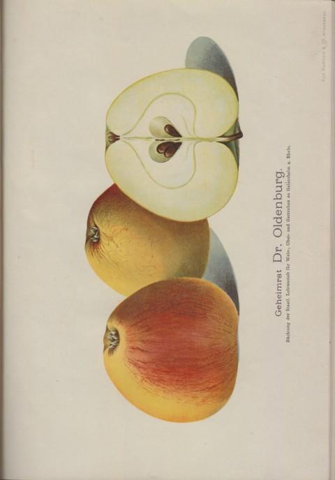 Bild: Bildtafel zum Geheimrat Dr. Oldenburg im Buch Unsere besten Deutschen Obstsorten Band I: Äpfel von 1923.