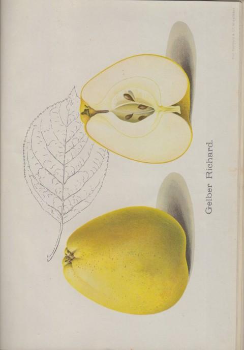 Bild: Bildtafel zum Gelber Richard im Buch Unsere besten Deutschen Obstsorten Band I: Äpfel von 1923.