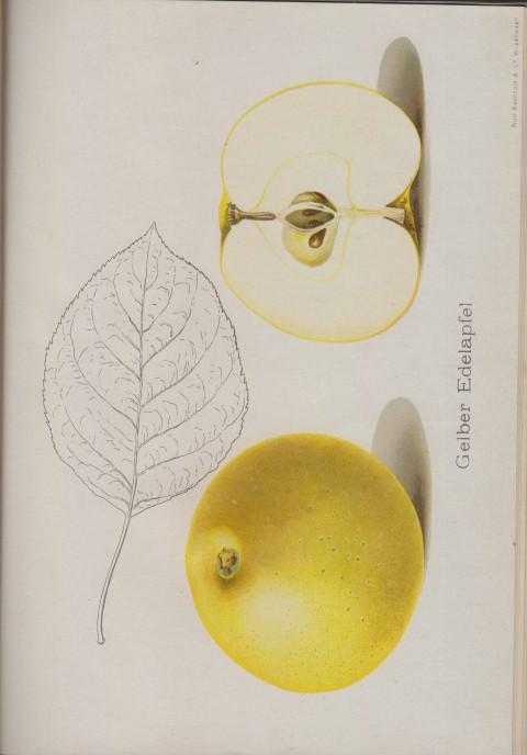 Bild: Bildtafel zum Gelber Edelapfel im Buch Unsere besten Deutschen Obstsorten Band I: Äpfel von 1923.