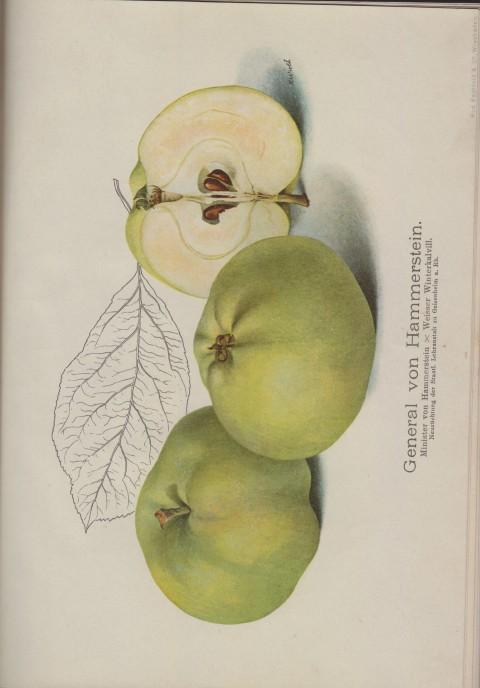 Bild: Bildtafel zum General von Hammerstein im Buch Unsere besten Deutschen Obstsorten Band I: Äpfel von 1923.