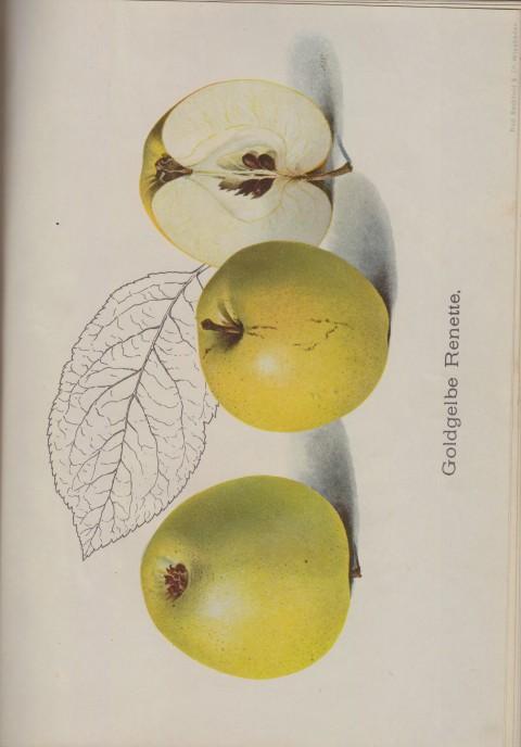 Bild: Bildtafel zum Goldgelbe Renette im Buch Unsere besten Deutschen Obstsorten Band I: Äpfel von 1923.