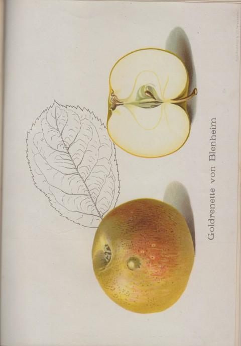 Bild: Bildtafel zur Goldrenette von Blenheim im Buch Unsere besten Deutschen Obstsorten Band I: Äpfel von 1923.