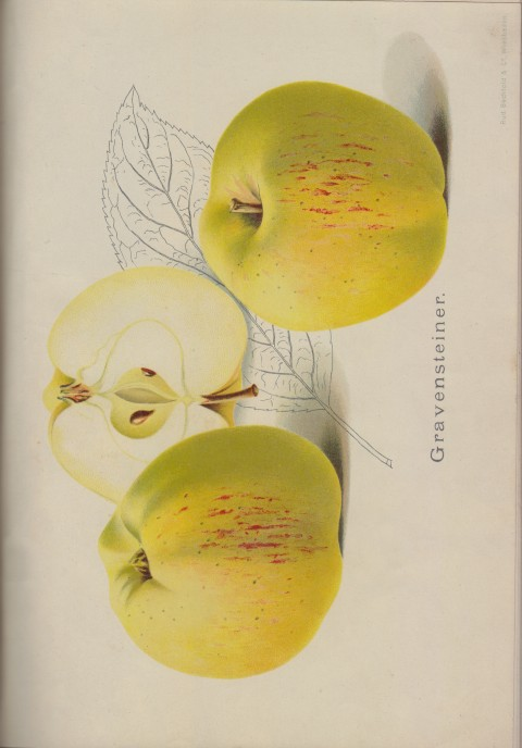Bild: Bildtafel zum Gravensteiner im Buch Unsere besten Deutschen Obstsorten Band I: Äpfel von 1923.