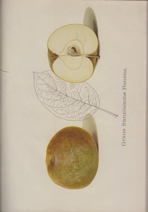 Bild: Bildtafel zum Graue Französische Renette im Buch Unsere besten Deutschen Obstsorten Band I: Äpfel von 1923.