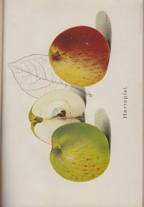 Bild: Bildtafel zum Hartapfel im Buch Unsere besten Deutschen Obstsorten Band I: Äpfel von 1923.