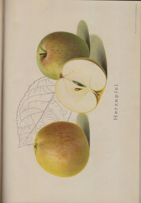 Bild: Bildtafel zum Herzapfel im Buch Unsere besten Deutschen Obstsorten Band I: Äpfel von 1923.