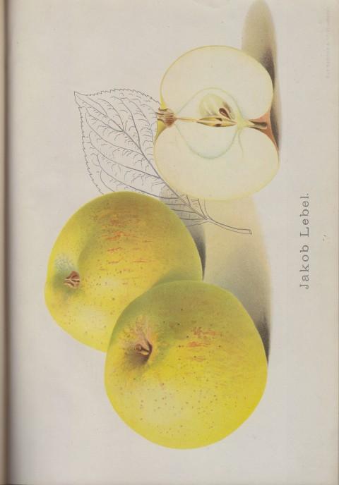 Bild: Bildtafel zum Jakob Lebel im Buch Unsere besten Deutschen Obstsorten Band I: Äpfel von 1923.
