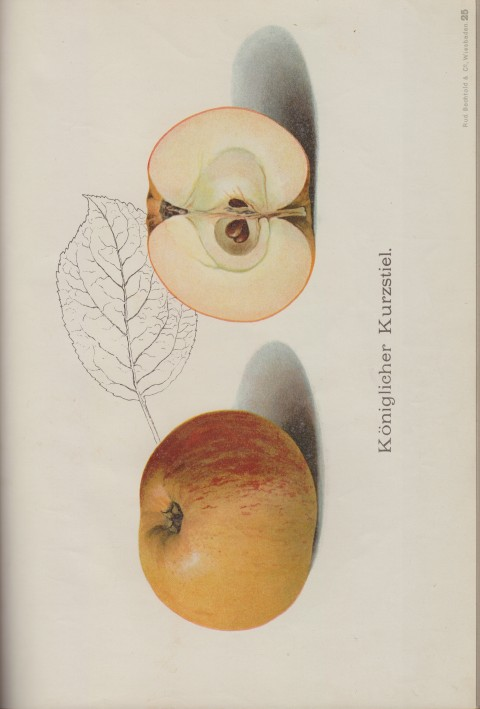 Bild: Bildtafel zum Königsberger Kurzstiel im Buch Unsere besten Deutschen Obstsorten Band I: Äpfel von 1923.