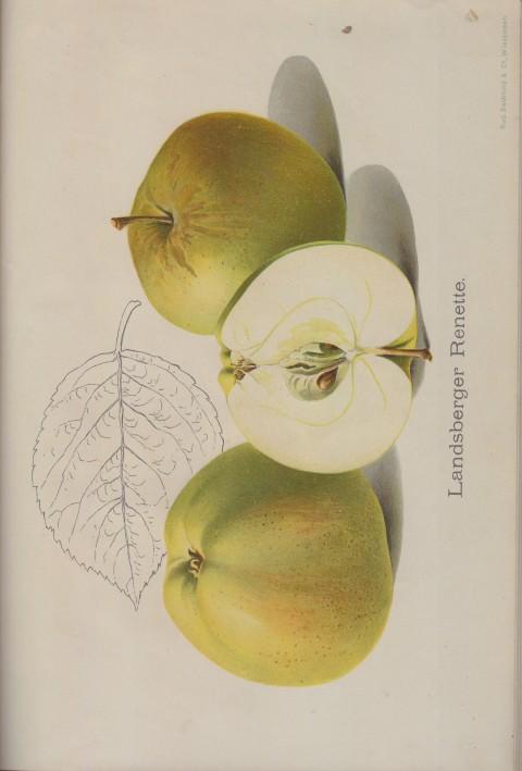 Bild: Bildtafel zur Landsberger Renette im Buch Unsere besten Deutschen Obstsorten Band I: Äpfel von 1923.