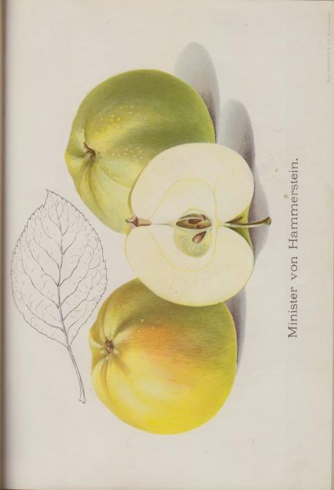 Bild: Bildtafel zum Minister von Hammerstein im Buch Unsere besten Deutschen Obstsorten Band I: Äpfel von 1923.