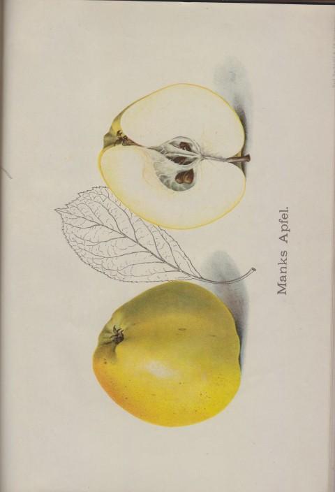 Bild: Bildtafel zu Manks Apfel im Buch Unsere besten Deutschen Obstsorten Band I: Äpfel von 1923.
