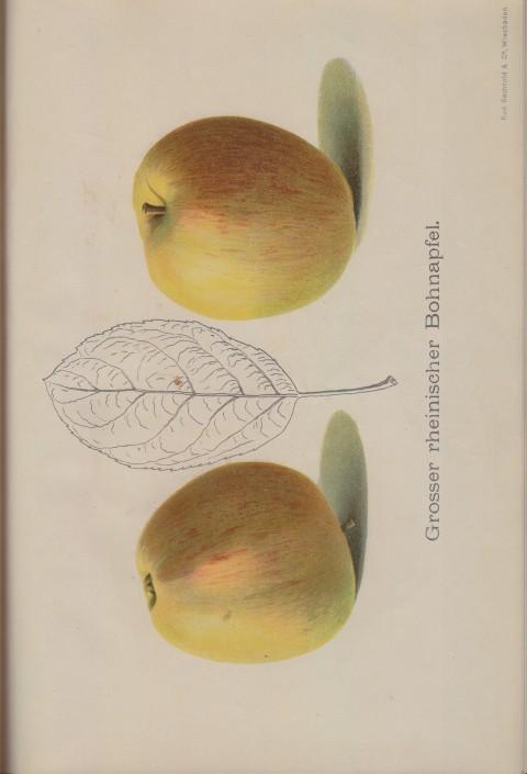 Bild: Bildtafel zu Grosser Rheinischer Bohnapfel im Buch Unsere besten Deutschen Obstsorten Band I: Äpfel von 1923.
