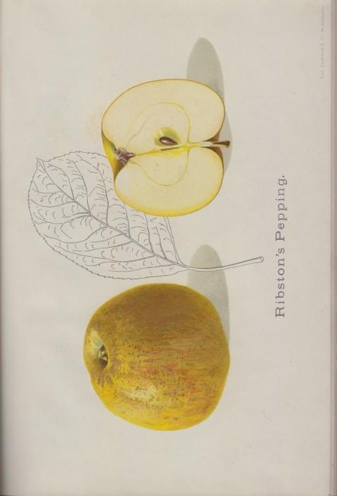 Bild: Bildtafel zu Ribston's Pepping im Buch Unsere besten Deutschen Obstsorten Band I: Äpfel von 1923.