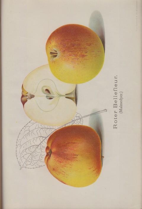 Bild: Bildtafel zu Roter Bellefleur (Malmedyer) im Buch Unsere besten Deutschen Obstsorten Band I: Äpfel von 1923.