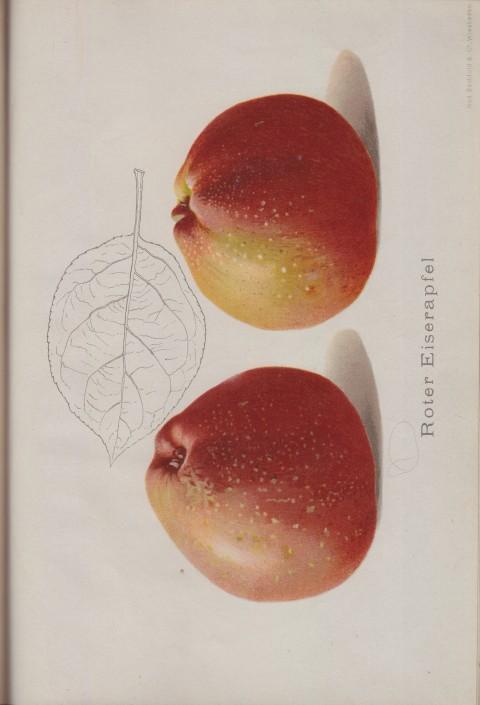 Bild: Bildtafel zu Roter Eiserapfel im Buch Unsere besten Deutschen Obstsorten Band I: Äpfel von 1923.