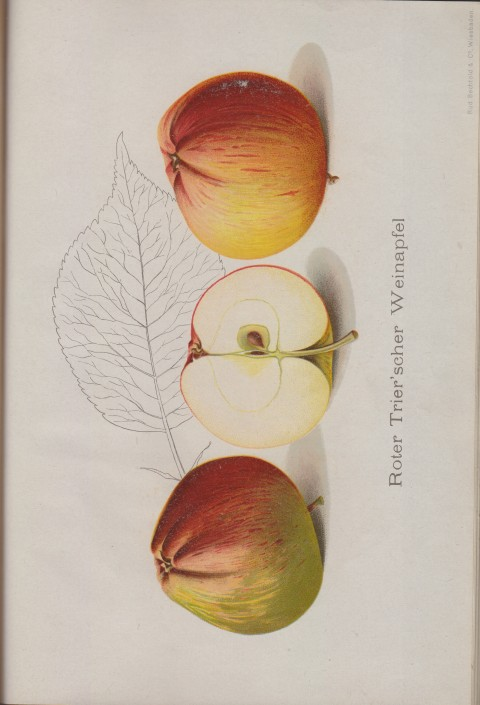 Bild: Bildtafel zu Roter Trier'scher Weinapfel im Buch Unsere besten Deutschen Obstsorten Band I: Äpfel von 1923.