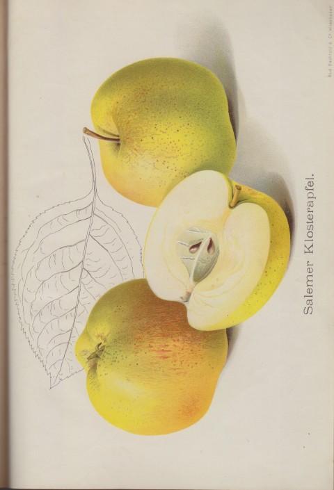 Bild: Bildtafel zum Salemer Klosterapfel im Buch Unsere besten Deutschen Obstsorten Band I: Äpfel von 1923.