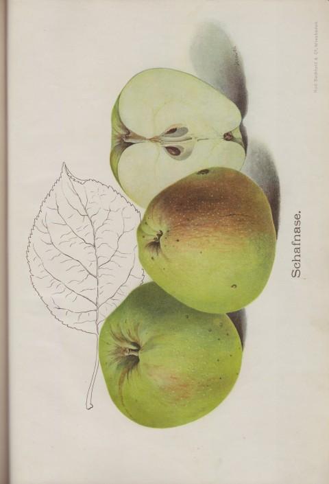 Bild: Bildtafel zum Apfel Schafnase im Buch Unsere besten Deutschen Obstsorten Band I: Äpfel von 1923.