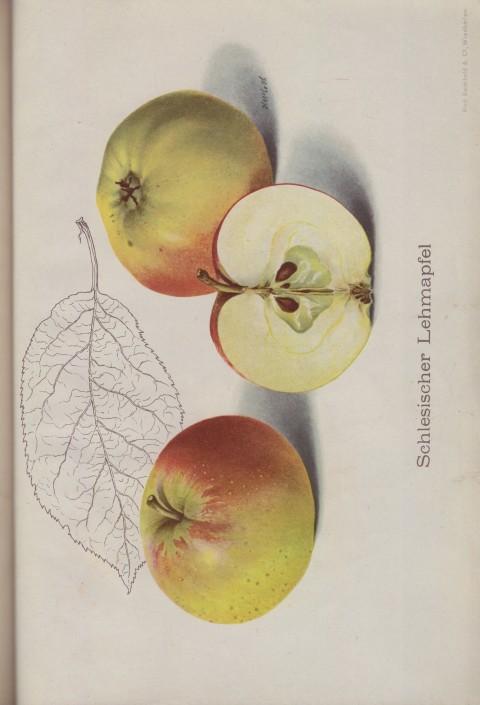 Bild: Bildtafel zum Schlesischer Lehmapfel im Buch Unsere besten Deutschen Obstsorten Band I: Äpfel von 1923.