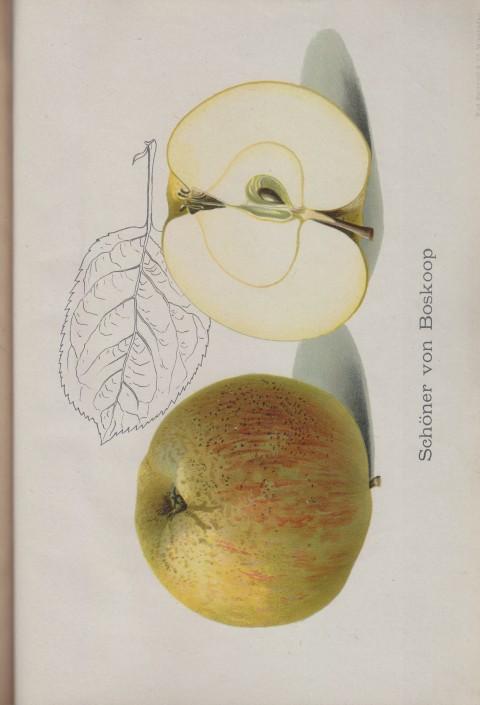 Bild: Bildtafel zum Apfel Schöner von Boskop im Buch Unsere besten Deutschen Obstsorten Band I: Äpfel von 1923.
