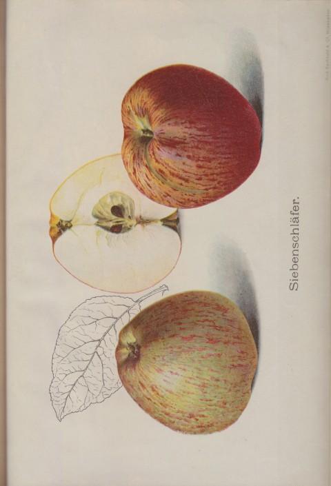 Bild: Bildtafel zum Apfel Siebenschläfer im Buch Unsere besten Deutschen Obstsorten Band I: Äpfel von 1923.