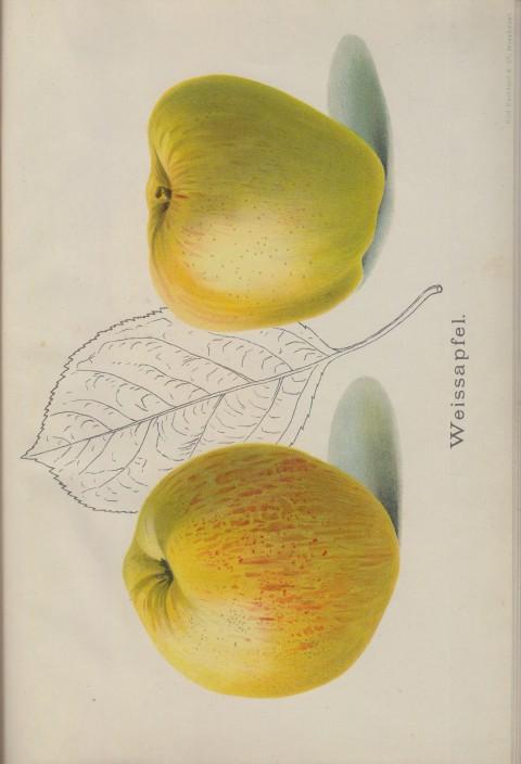Bild: Bildtafel zum Weissapfel im Buch Unsere besten Deutschen Obstsorten Band I: Äpfel von 1923.
